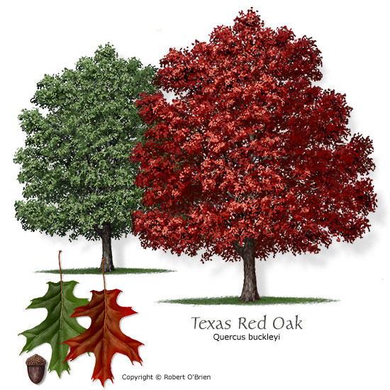 Red Oak Tree pic