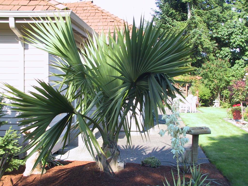 Palm Tree pic
