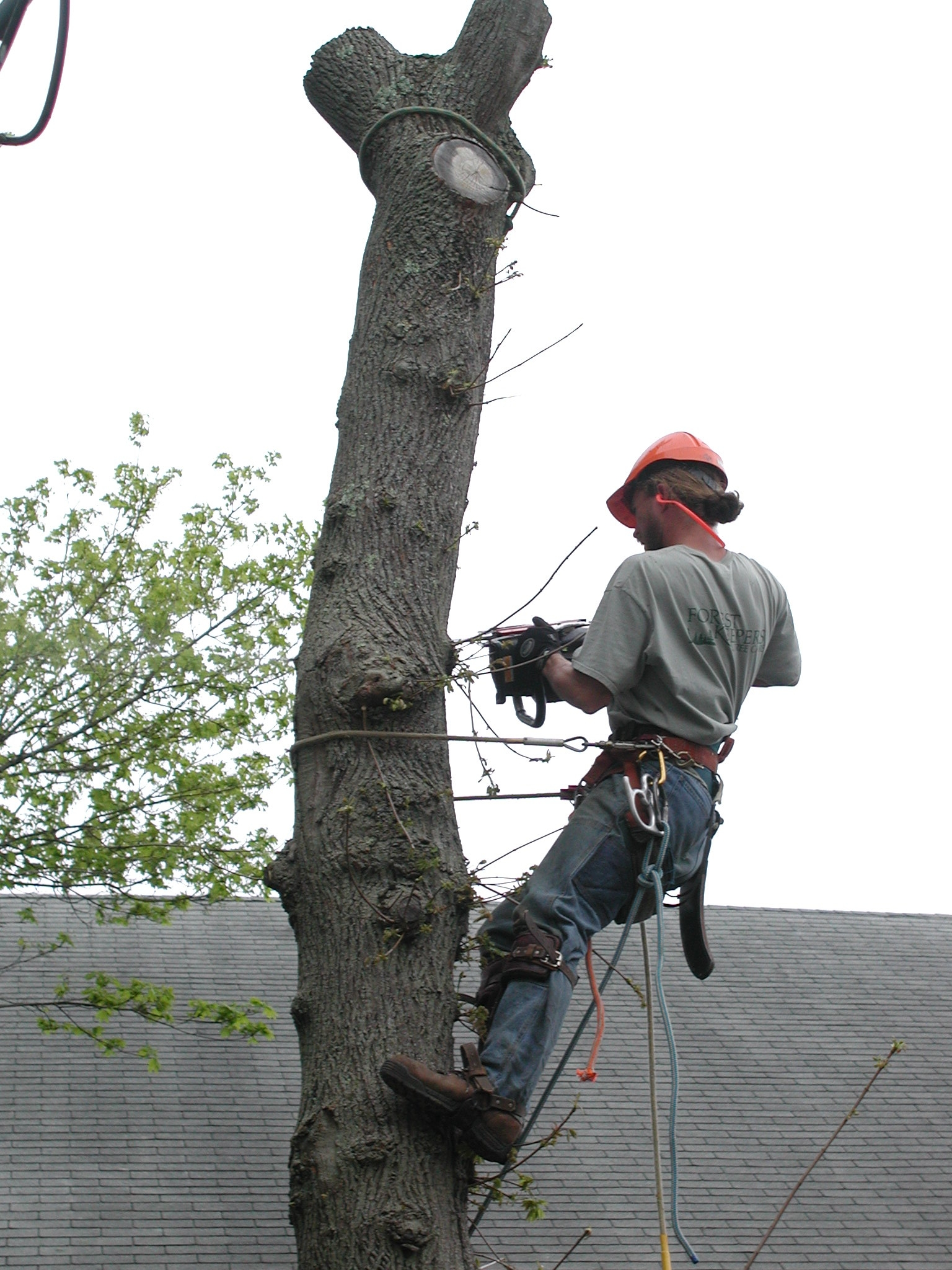 Taking down a large Maple