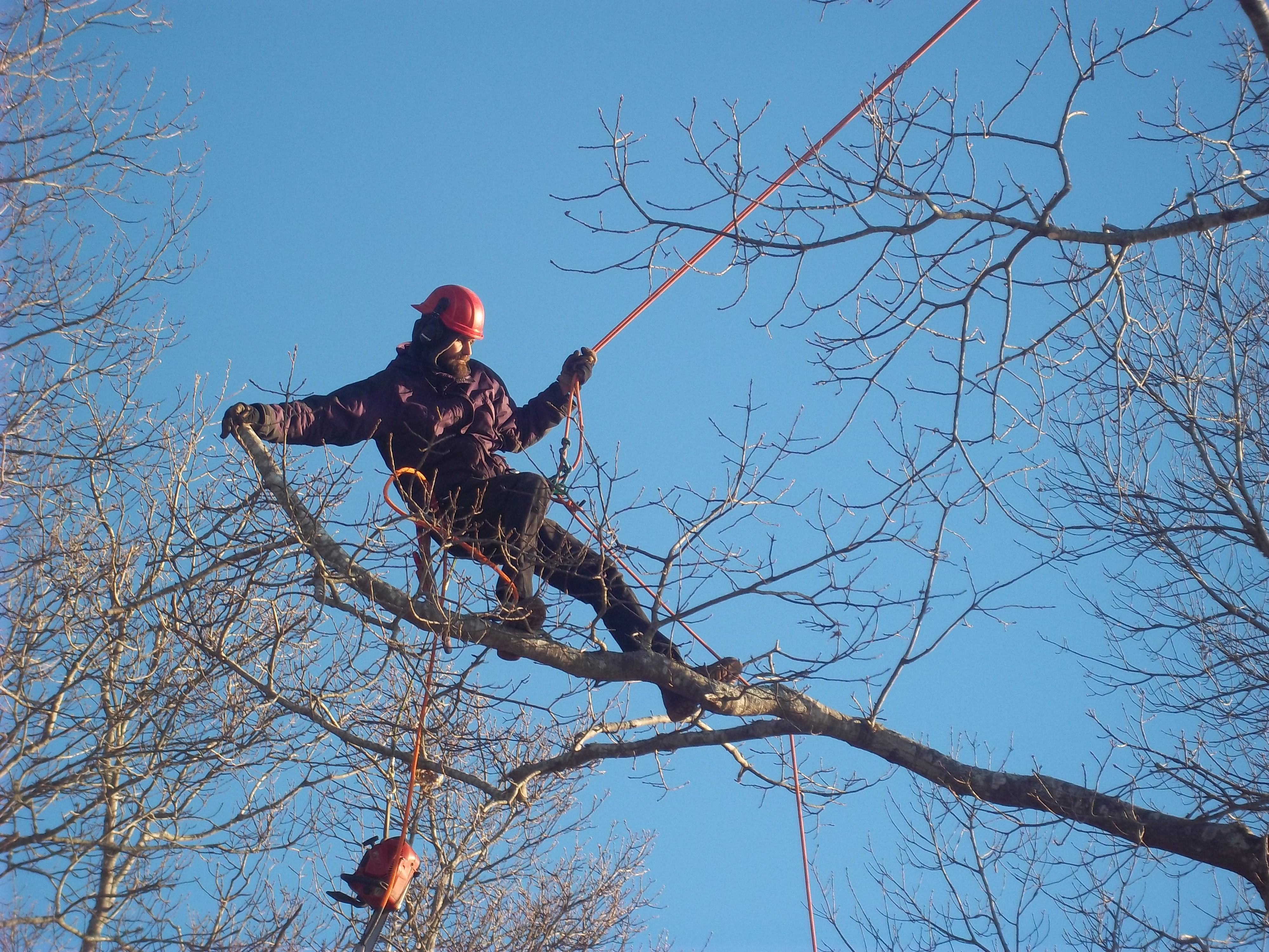 Pruning a Black Oak tree