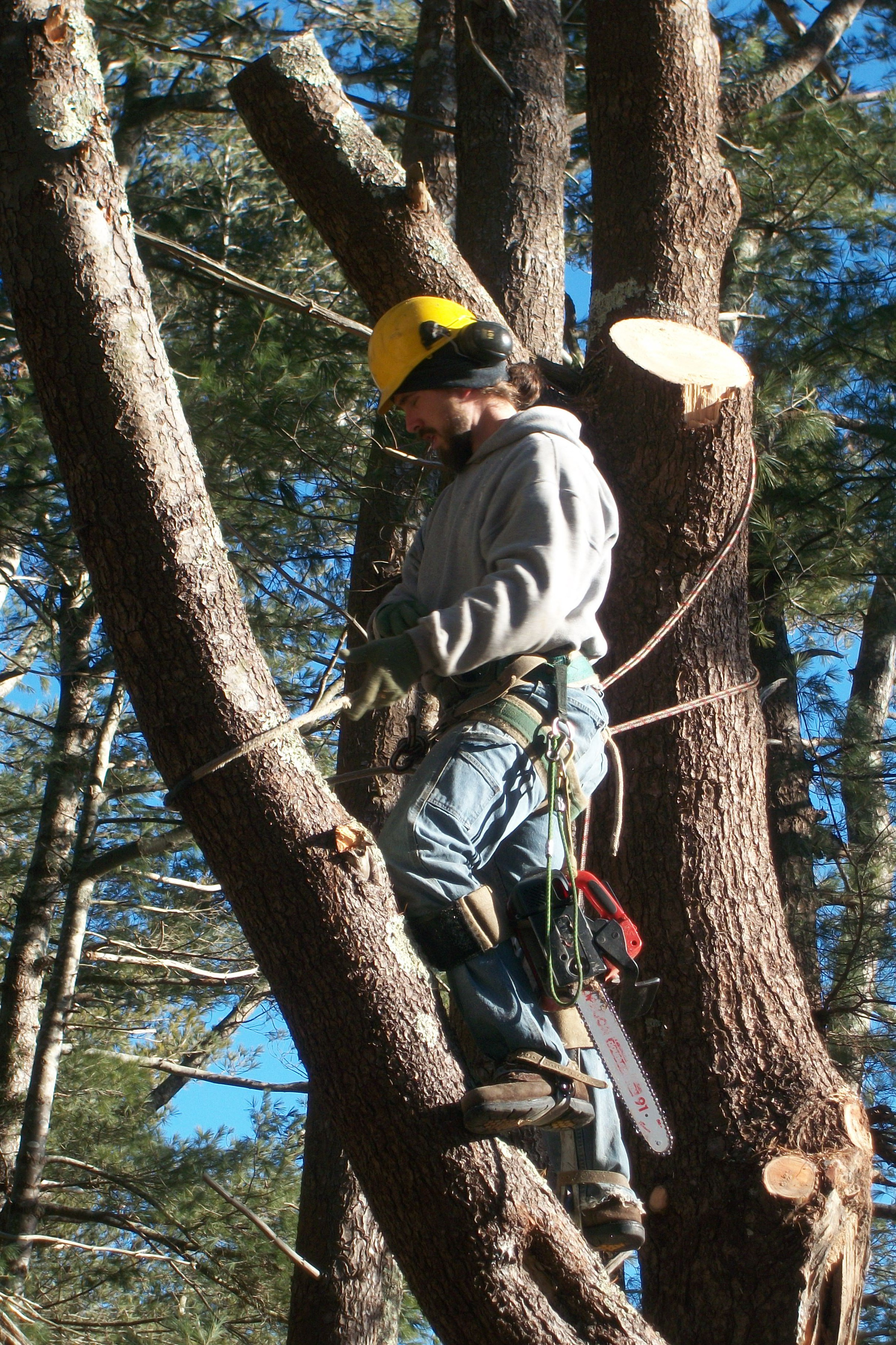 Removing a White Pine tree
