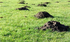 $225 for 6 Months of Gopher or Mole Removal...