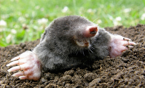 $150 for 3 Months of Gopher or Mole Removal...