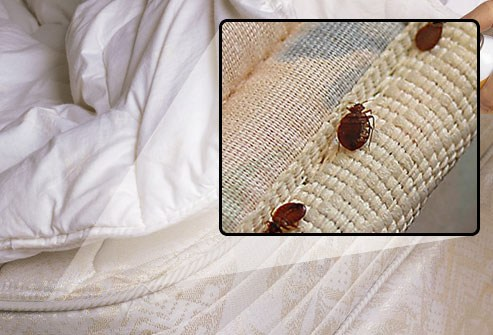 best home remedies for bed bugs