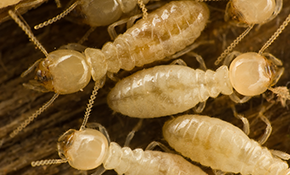 $50 for a Termite Home Inspection