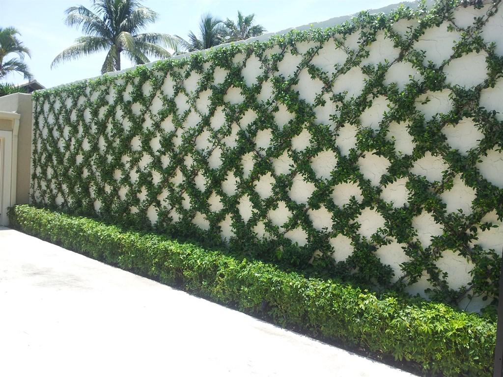 Jasmine Wall Vine