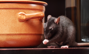 $79 for Rodent Trapping, Removal and Inspection