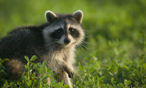 $599 for Home Raccoon Removal Package