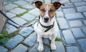 $136 for 1 Month of Dog Walking (2 Days a...