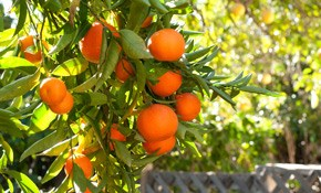 $54 for Citrus Tree Treatment