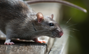 $95 for Rodent Control Package