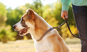 $38 for Two 30 Minute Dog Walking Sessions