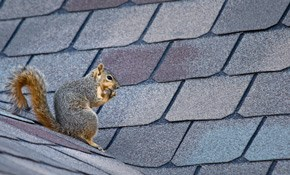 $595 for Squirrel Removal Includes 1 Year...