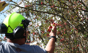 $299 for Four Labor-Hours of Tree Service