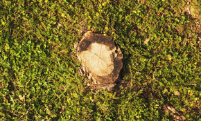 $75 for Stump Grinding Service