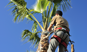 $795 for Up To 5 Palm Trees Trimmed