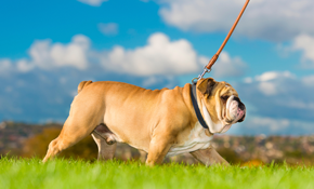 $44 for Two 30 Minute Dog Walking Sessions