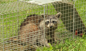 $525 for Raccoon/Squirrel Trap Set-up