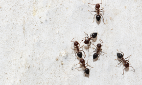 $195 Interior and Exterior Small Ant Elimination