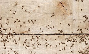 $99 Basic Ant Treatment