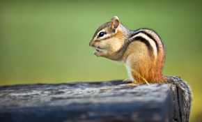 $289 Chipmunk Removal Package