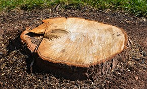 $137 for up to 36 Inches of Stump Grinding
