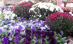 $29.98 for One Flat of Flowering Pansies...