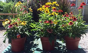 $30 for Two 10-inch Pots of Blooming Coneflowers