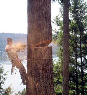 A tree service professional cuts down a large tree